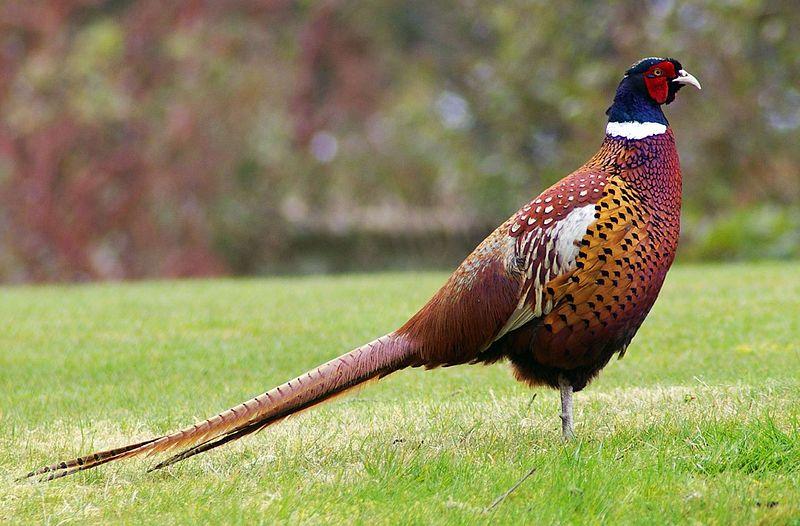 Pheasant (Gary Noon)