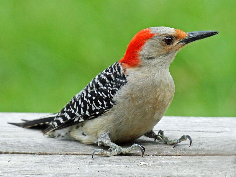 Red-Bellied Woodpecker (Dick Daniels)