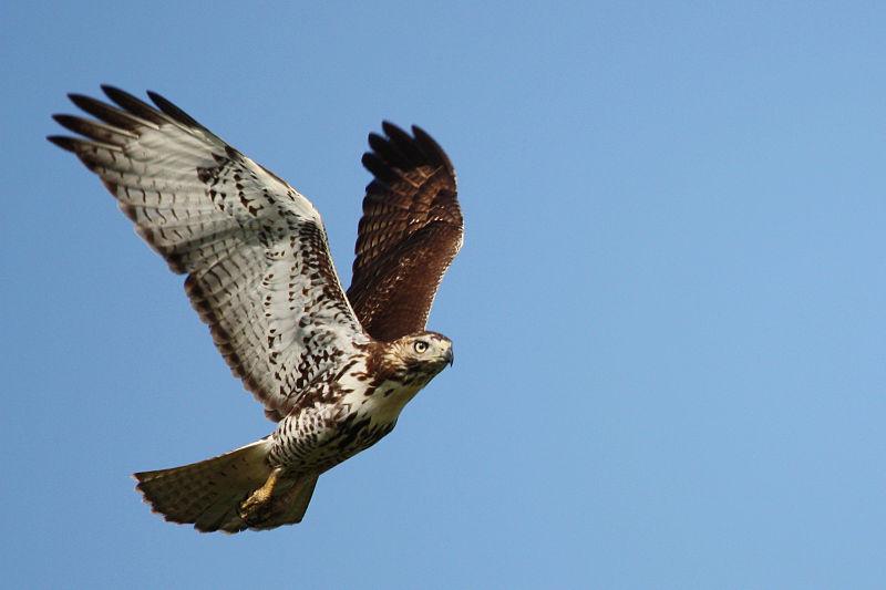 Red-Tailed Hawk (USFWS)