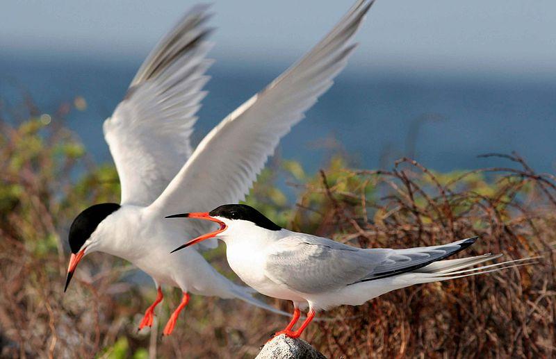 Roseate Tern (USFWS)