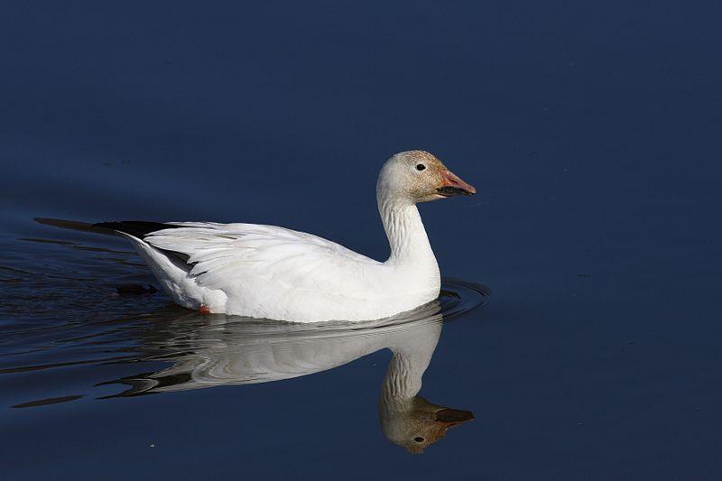 Snow Goose (Simon Pierre Barrette)