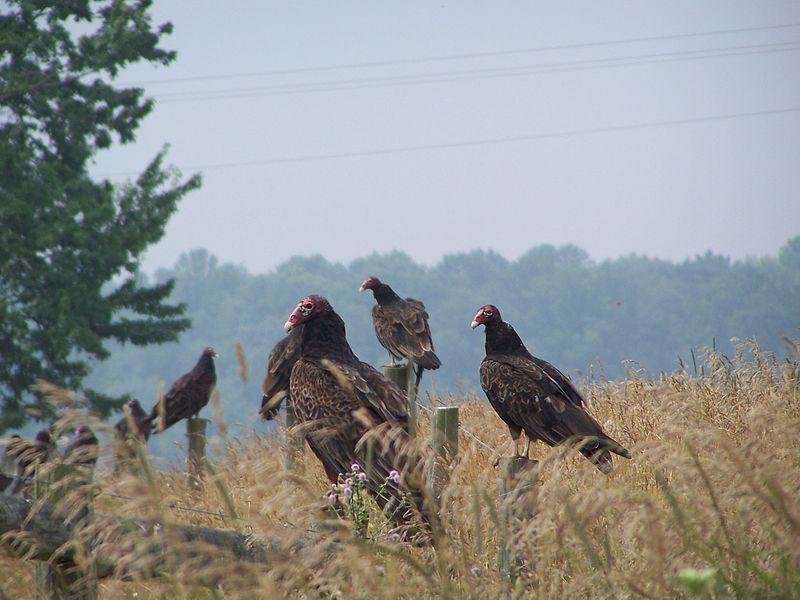 Turkey Vulture (Dixit Dominus)