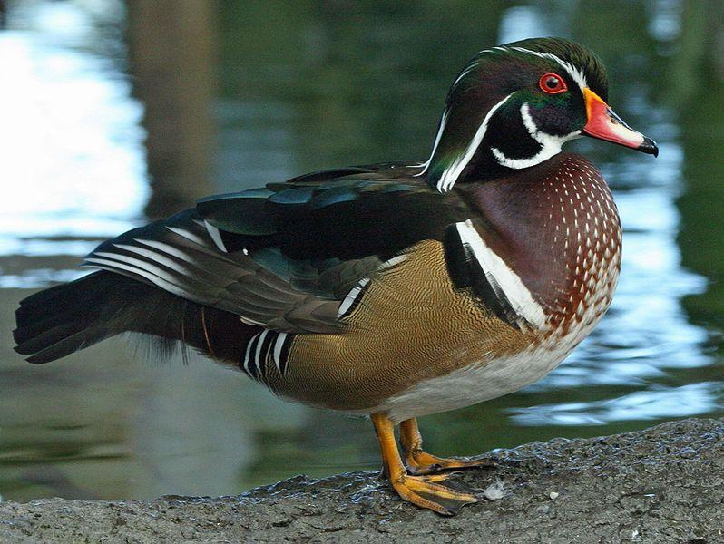 Wood Duck  (Dick Daniels)