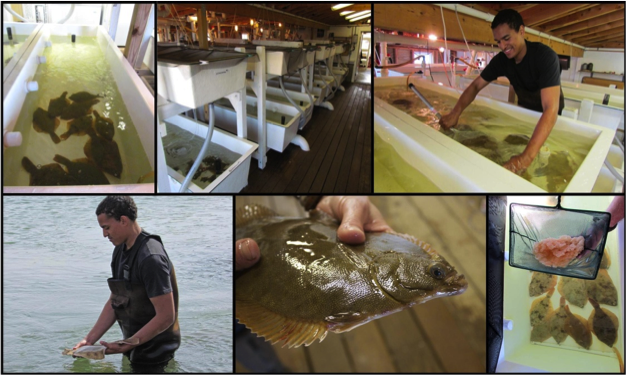 Hatchery Operations (clockwise from top left): Honeymoon tank, hatchery, collection of fertilized eggs, fertilized egg cluster, adult winter flounder, release of spawned adults. Tribal member Serel Garrin was a key member of the team.