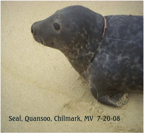 This Harbor Seal was entangled with fishing gear around the neck. The seal was captured, rehabilitated and released in Biddeford, Maine.