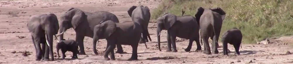 Horiz_elephants05.jpg