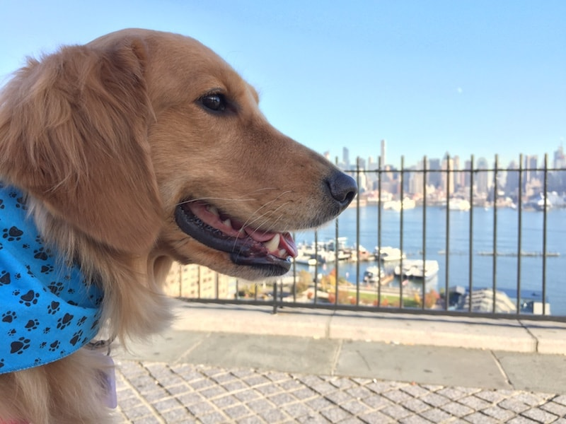 weehawken new jersey golden retriever