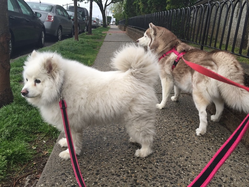 husky dog training weehawken new jersey