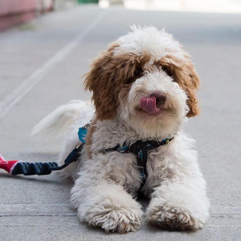 doodle dog walking dog training new jersey