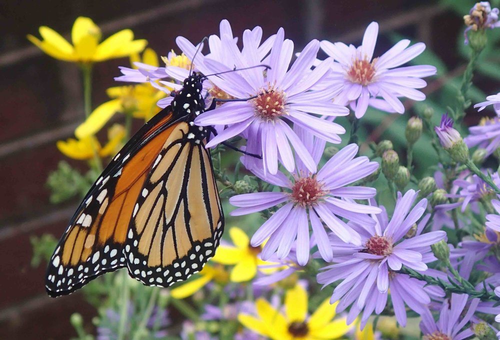 Monarch Butterfly on a fall-blooming Smooth Aster with a yellow Coreopsis in the background. Photo by Betsy Washington.
