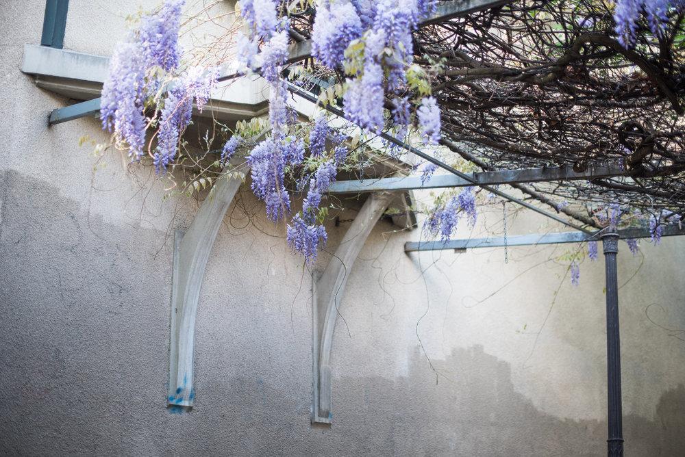 Paris_wisteria-1.jpg