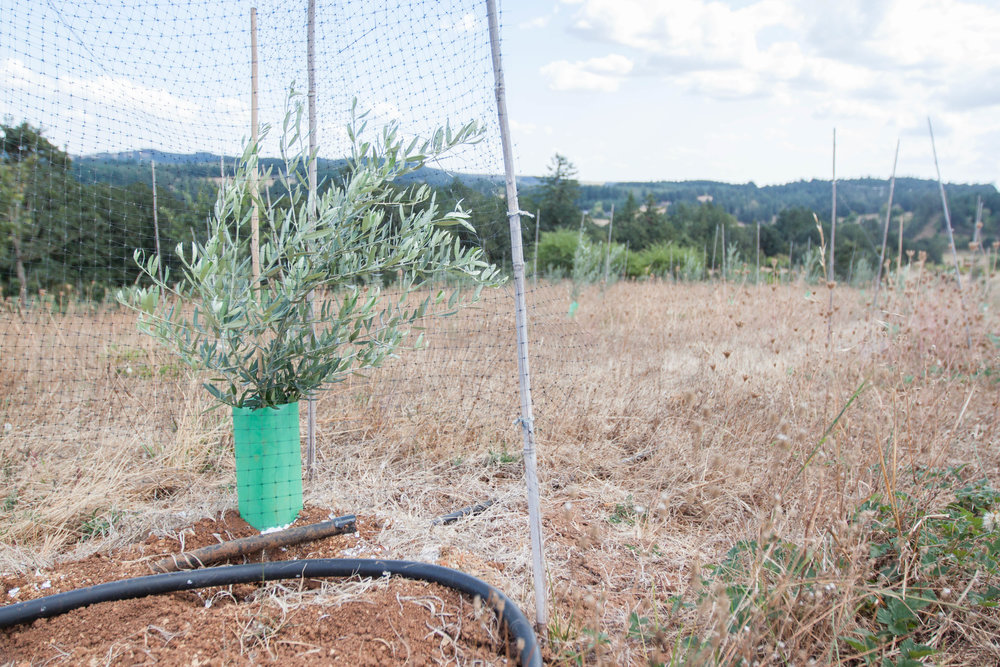 Well-spaced olive plants and untidy margins provide ample forage and nesting habitat.