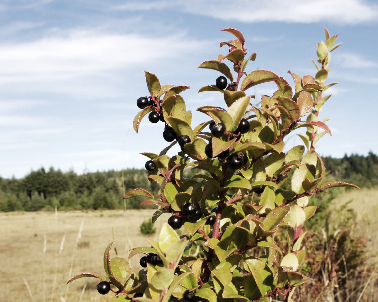 Native plants dotted across the farm, including this wild huckleberry pictured here.