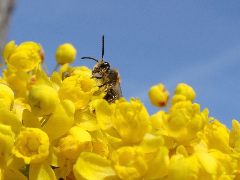 Andrena male (Lincoln says, possibly  Andrena berberidis ) on tall Oregon grape ( Berberis aquifolium ). March 2018. By Ed Sullivan, Portland.