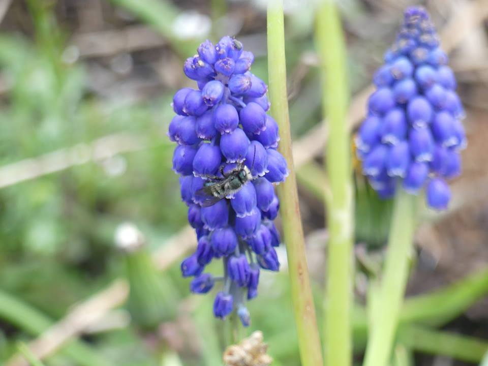 Osmia lignaria  (?) male on grape hyacinth. By Julie Biddle.