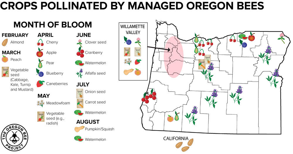 Oregon has four managed species of bee pollinators and they work right around the year to make some Oregon's most delicious fruits and seeds. Graphic credit: Iris Kormann and Andony Melathopoulos.
