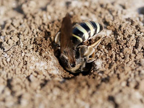 alkali-bees.jpg