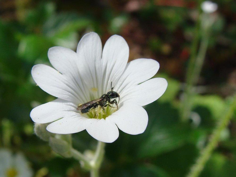 """Ed Sullivan catches a small carpenter bee female (Ceratina spp.) on Cerastium tomentosum """"Summer in Snow""""."""