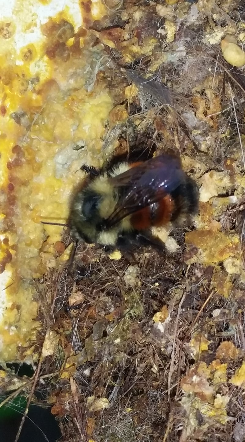 Steve Gomes has been noticing more people are contacting beekeepers to move bumble bee nests this past week. Tagging the location of these colonies and digging them up after they have completed their reproduction is a great way to get some display nests for your public outreach events.