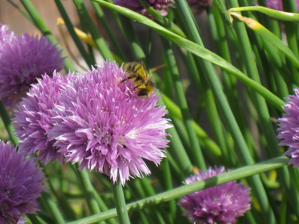 Maxine Centala, a member of the central Coast Atlas team found this lovely bumble bee on her chives in Seal Rock. Stephaine Hazen tentatively identified the bee as Bombus fervidus.