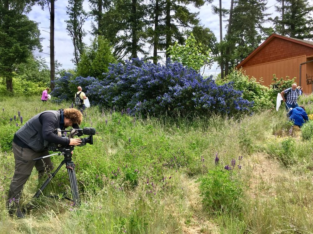 Aaron Scott from Oregon Field Guide was out filming an episode on Oregon bees with the Yamhill Collection team at their Winters Hill site. Winters Hill is also an Oregon Bee Project Flagship Farm. Just look at that magnificent Ceanothus!Great work Yamhill County.