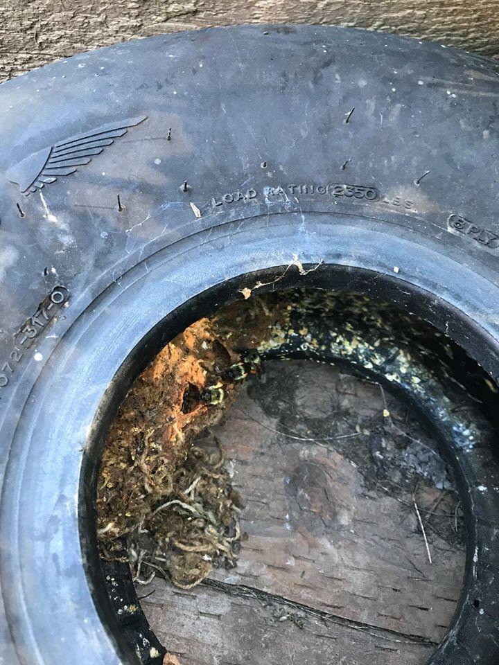 Michael O'Loughlin was called by a neighbor about a  B melanogypus  nest built in an aircraft tire.