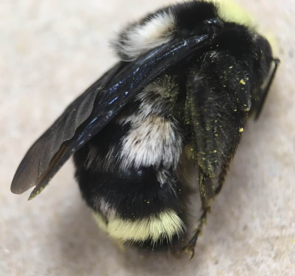 Dr. Briana Lindh from Willamette University found this  Bombus vosnesenski  with unusual white patches. Great find!