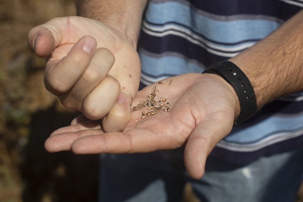 By creating habitat for bees, BeeHaven farms is able to achieve high yields of quality seed.