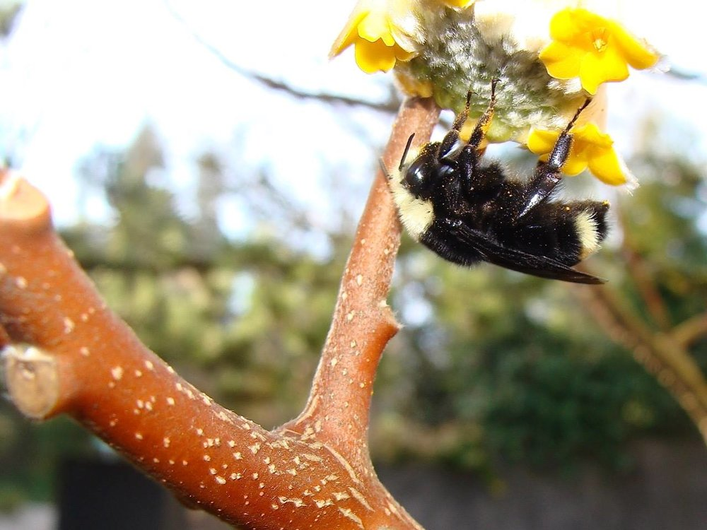 """Bombus vosnesenskii  on  Edgeworthia chrysantha  in Ed Sullivan's front yard in Portland on January 31. ed notes the picture was taken at 50°F and """"this bee was not moving fast""""."""