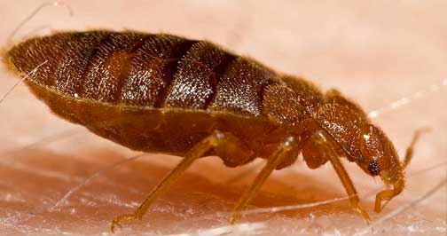 Biotech uses safe, non-repellant chemicals and industrial strength steam that kills Bed Bugs in NYC, Bronx, Queens, Brooklyn, Long Island, NY