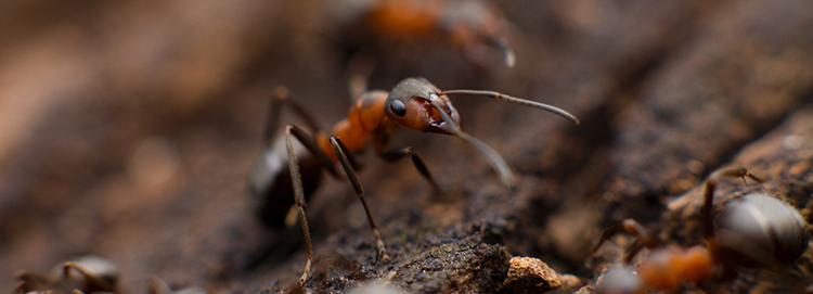 carpenter ants.png