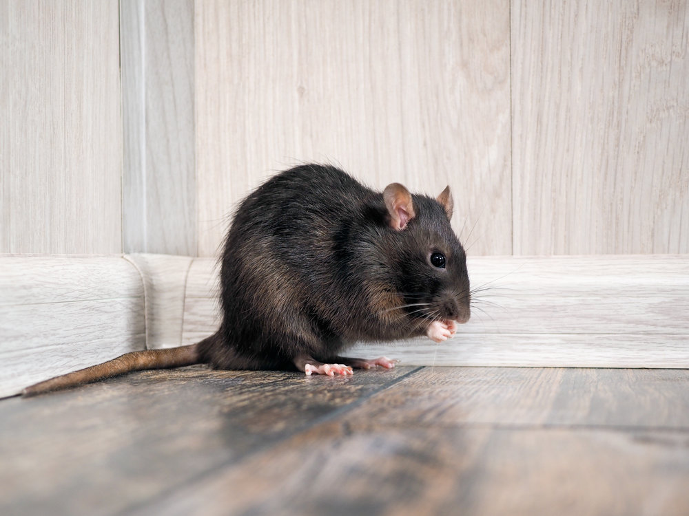 Keep Rats and Mice Away from Your NYC Home with Effective Pest Control