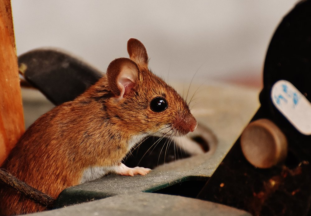 Pest Control: Identifying a Rodent Problem in Your Nassau County, NY, Home