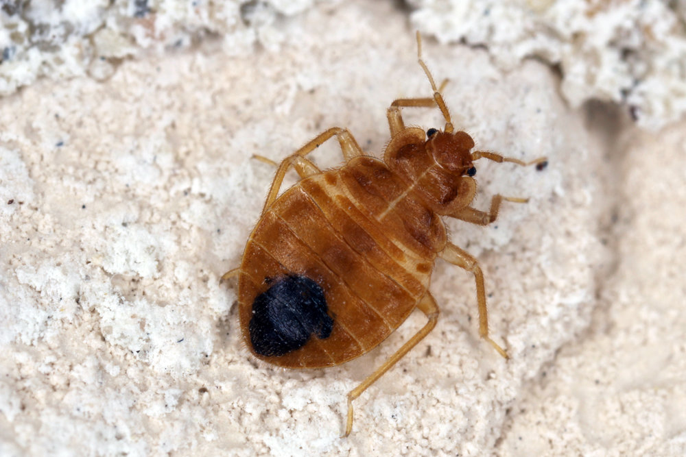 How a Bed Bug Exterminator Gets Rid of Bed Bugs in Your Suffolk County, NY, Home