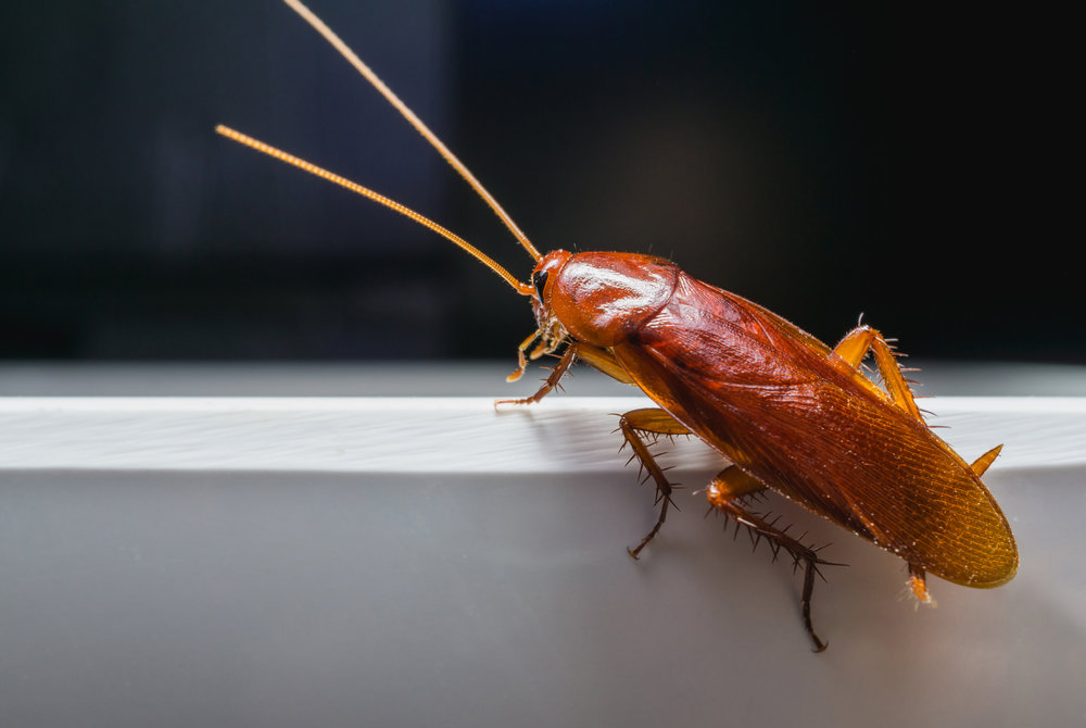 Exterminator's Tips for Identifying Roaches in New Jersey