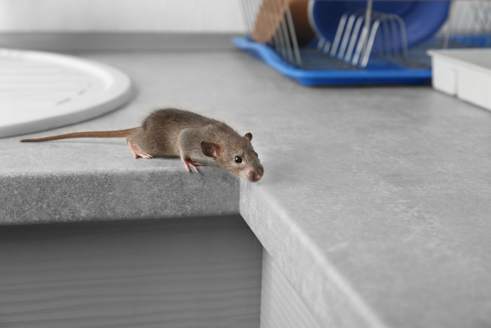 Hire an Exterminator to Get Rid of Mice in Your Brooklyn, NY, Kitchen