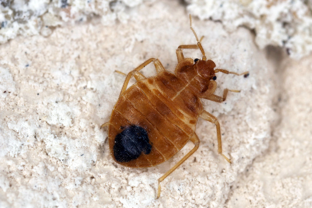 Bed bug exterminator NYC using trained bed bug dogs in NYC