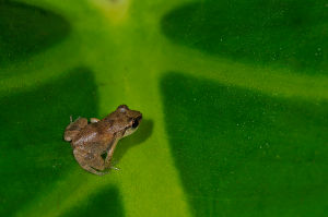 Lesser Antillean Whistling Frog  (Source: http://www.dcnanature.org)