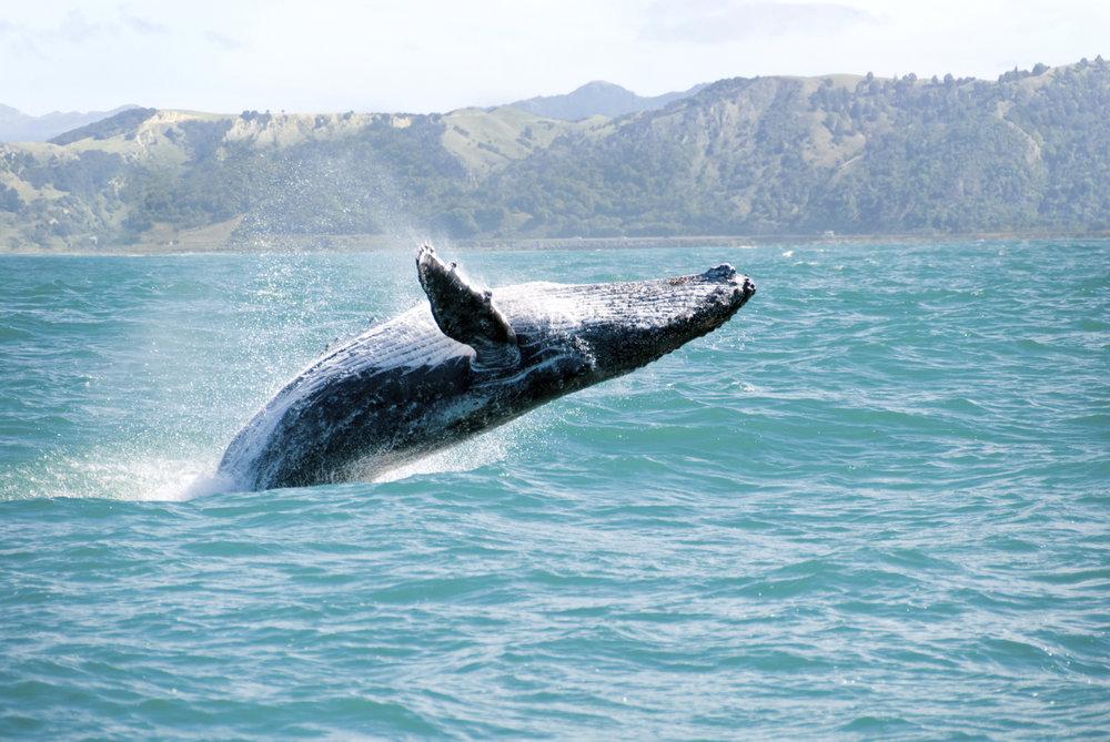 humpback-whale-hawaii.jpg