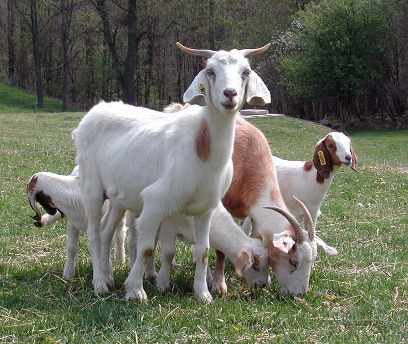 goats-451.jpg