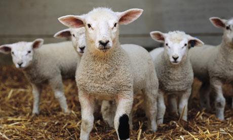 Lambs-001.jpg
