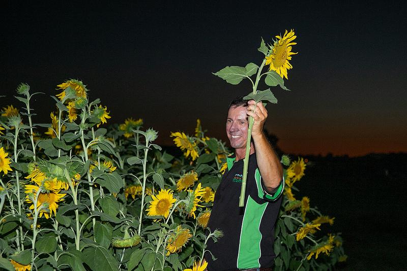 Farmer Simon Mattsson harvesting sunflowers at The Beacon