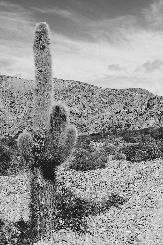 Cactus.Quebrada de Humahuaca, Northwest of Argentina 2015.