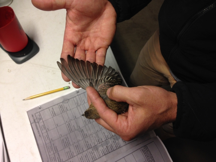 Tim Brown takes measurements of a female Brown-capped rosy finch. [Photo by Katie Klingsporn]
