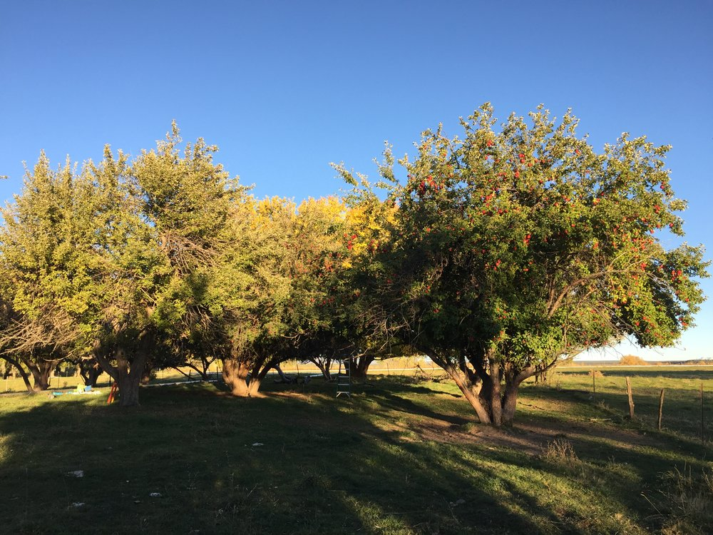 Heirloom apple trees in an old Mesa County orchard are loaded with fruit. [Photo courtesy of the Apple Core Project]