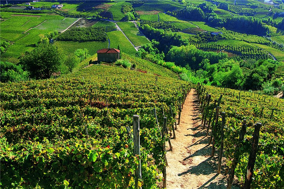 vineyards rizzi vinery in treiso piedmont wine italian barbaresco barolo langhe roero