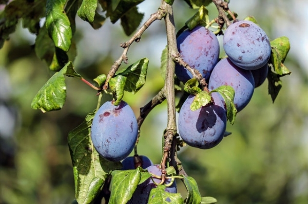 Nothing beats damsons, Shropshire prunes says Steve Benbow