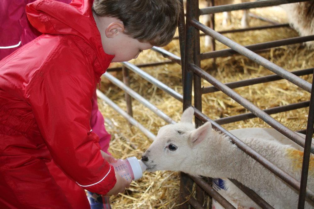 Bottle feeding lambs in Springtime