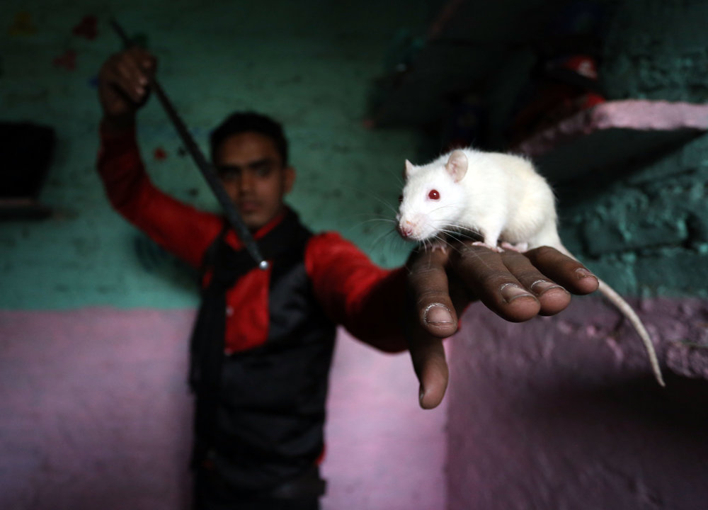 Magician Sohil Kahn practises his magic with a white rat at his home in the Kathputli slum colony of New Delhi, India, December 7th, 2014. He is one of 40,000 people living in the slum, which is popularly known for being the worlds largest colony of street performers, including magicians, snake charmers, acrobats, singers, dancers, actors, traditional healers and musicians and puppeteers. Their livelihood is under threat however as the Delhi government has obtained contracts to demolish the colony to make way for developers to build high-rise apartments.