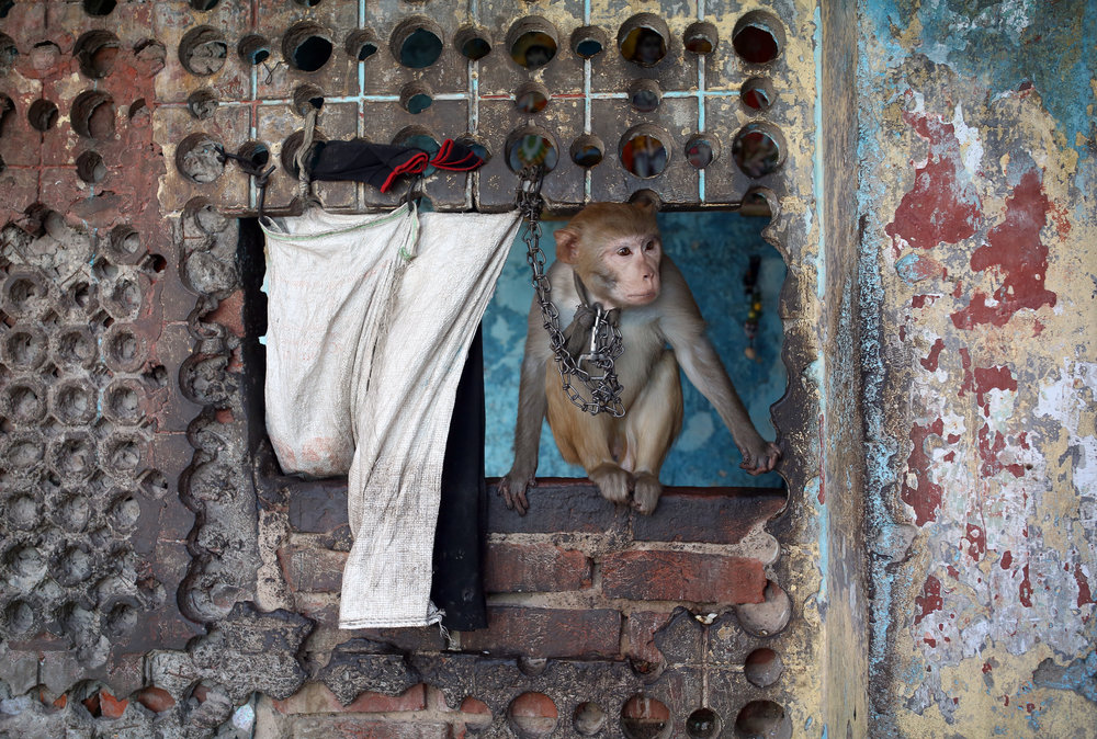 A monkey is pictured chain up outside a urinal in the Kathputli slum colony of New Delhi, India, December 7th, 2014. The slum has 40,000 people living in the slum, which is popularly known for being the worlds largest colony of street performers, including magicians, snake charmers, acrobats, singers, dancers, actors, traditional healers and musicians and puppeteers. Their livelihood is under threat however as the Delhi government has obtained contracts to demolish the colony to make way for developers to build high-rise apartments.
